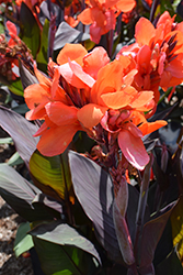 Cannova Bronze Orange Canna (Canna 'Cannova Bronze Orange') at Roger's Gardens
