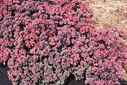 Plum Dazzled Stonecrop (Sedum 'Plum Dazzled') at Roger's Gardens