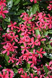 Soiree Kawaii Red Vinca (Catharanthus roseus 'Soiree Kawaii Red') at Roger's Gardens