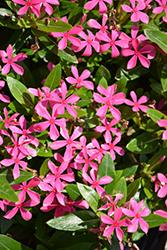 Soiree Kawaii Pink Vinca (Catharanthus roseus 'Soiree Kawaii Pink') at Roger's Gardens