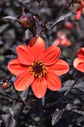Mystic Enchantment Dahlia (Dahlia 'Another Pet') at Roger's Gardens