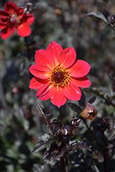 Mystic Sparkler Dahlia (Dahlia 'Mystic Sparkler') at Roger's Gardens