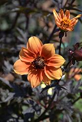 Mystic Spirit Dahlia (Dahlia 'Best Bett') at Roger's Gardens