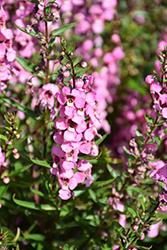 Serena Rose Angelonia (Angelonia angustifolia 'PAS1180775') at Roger's Gardens