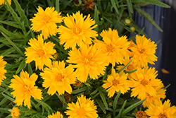 Double the Sun Tickseed (Coreopsis grandiflora 'Double the Sun') at Roger's Gardens