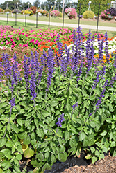 Big Blue Salvia (Salvia 'PAS1246577') at Roger's Gardens