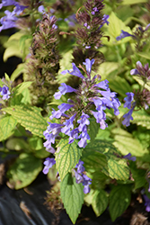 Blue Prelude Catmint (Nepeta 'Blue Prelude') at Roger's Gardens