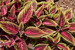 Ruby Road Coleus (Solenostemon scutellarioides 'Ruby Road') at Roger's Gardens
