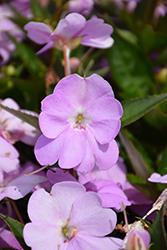 SunPatiens Vigorous Orchid Impatiens (Impatiens 'SAKIMP053') at Roger's Gardens