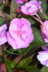 SunPatiens Vigorous Lavender Splash New Guinea Impatiens (Impatiens 'SAKIMP058') at Roger's Gardens
