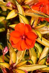 SunPatiens Vigorous Tropical Orange New Guinea Impatiens (Impatiens 'SAKIMP055') at Roger's Gardens