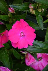 SunPatiens Vigorous Rose Pink New Guinea Impatiens (Impatiens 'SAKIMP052') at Roger's Gardens