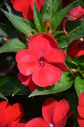 SunPatiens Vigorous Red Impatiens (Impatiens 'SAKIMP048') at Roger's Gardens