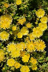 Suntropics Yellow Ice Plant (Delosperma 'Suntropics Yellow') at Roger's Gardens