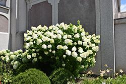 Diamantino Hydrangea (Hydrangea paniculata 'REN101') at Roger's Gardens