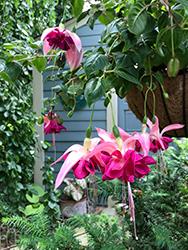 Bella Rosella Fuchsia (Fuchsia 'Bella Rosella') at Roger's Gardens