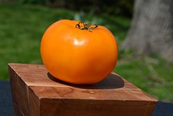 Jubilee Tomato (Solanum lycopersicum 'Jubilee') at Roger's Gardens