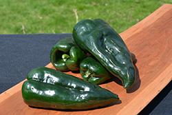 Capulin Pepper (Capsicum annuum 'Capulin') at Roger's Gardens