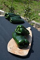 Poblano Pepper (Capsicum annuum 'Poblano') at Roger's Gardens