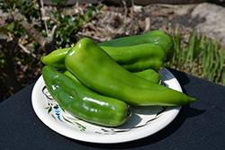 Anaheim Pepper (Capsicum annuum 'Anaheim') at Roger's Gardens