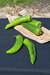 NuMex Sandia Pepper (Capsicum annuum 'NuMex Sandia') at Roger's Gardens