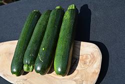 Zucchini (Generic) (Cucurbita pepo var. cylindrica) at Roger's Gardens
