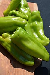 Biscayne Pepper (Capsicum annuum 'Biscayne') at Roger's Gardens