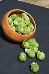 Long Island Brussels Sprout (Brassica oleracea var. gemmifera 'Long Island') at Roger's Gardens