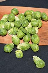 Franklin Brussels Sprout (Brassica oleracea var. gemmifera 'Franklin') at Roger's Gardens