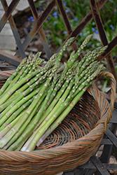 Jersey Supreme Asparagus (Asparagus officinalis 'Jersey Supreme') at Roger's Gardens