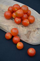 Sweet N' Neat Cherry Scarlet Tomato (Solanum lycopersicum 'Sweet N' Neat Cherry Scarlet') at Roger's Gardens