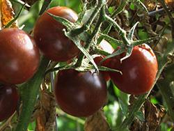Black Cherry Tomato (Solanum lycopersicum 'Black Cherry') at Roger's Gardens