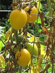 Yellow Plum Tomato (Solanum lycopersicum 'Yellow Plum') at Roger's Gardens