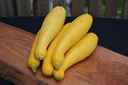 Crookneck Squash (Cucurbita pepo var. torticollia) at Roger's Gardens