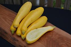 Superset Yellow Squash (Cucurbita pepo var. torticollia 'Superset') at Roger's Gardens