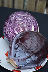 Red Acre Cabbage (Brassica oleracea var. capitata 'Red Acre') at Roger's Gardens