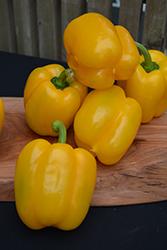 Golden Summer Sweet Pepper (Capsicum annuum 'Golden Summer') at Roger's Gardens