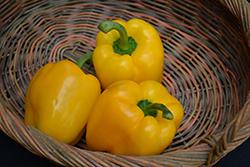 Yellow Bell Pepper (Capsicum annuum 'Yellow Bell') at Roger's Gardens