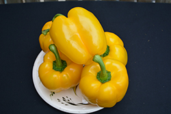 Golden Calwonder Sweet Pepper (Capsicum annuum 'Golden Calwonder') at Roger's Gardens