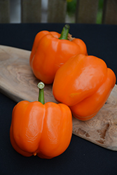 Orange Blaze Pepper (Capsicum annuum 'Orange Blaze') at Roger's Gardens