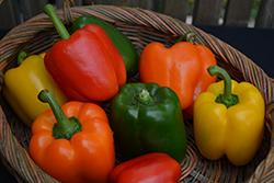 Rainbow Bell Sweet Pepper (Capsicum annuum 'Rainbow Bell') at Roger's Gardens