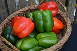 Carnival Blend Pepper (Capsicum annuum 'Carnival Blend') at Roger's Gardens