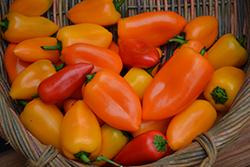 Yummy Sweet Pepper (Capsicum annuum 'Yummy') at Roger's Gardens