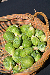 Jade Cross Brussels Sprout (Brassica oleracea var. gemmifera 'Jade Cross') at Roger's Gardens