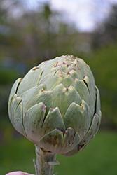 Green Globe Artichoke (Cynara cardunculus var. scolymus 'Green Globe') at Roger's Gardens