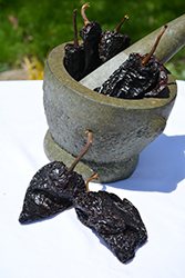 Ancho Magnifico Pepper (Capsicum annuum 'Ancho Magnifico') at Roger's Gardens