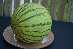 Wild Card Watermelon (Citrullus lanatus 'Wild Card') at Roger's Gardens