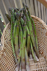 Precoce D'Argentuil Asparagus (Asparagus officinalis 'Precoce D'Argentuil') at Roger's Gardens