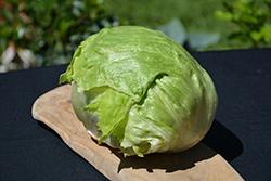 Iceberg Lettuce (Lactuca sativa var. capitata 'Iceberg') at Roger's Gardens