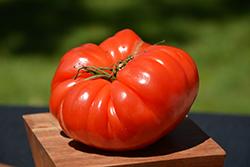 German Johnson Tomato (Solanum lycopersicum 'German Johnson') at Roger's Gardens